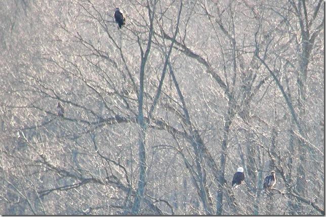 Eagle Family 1
