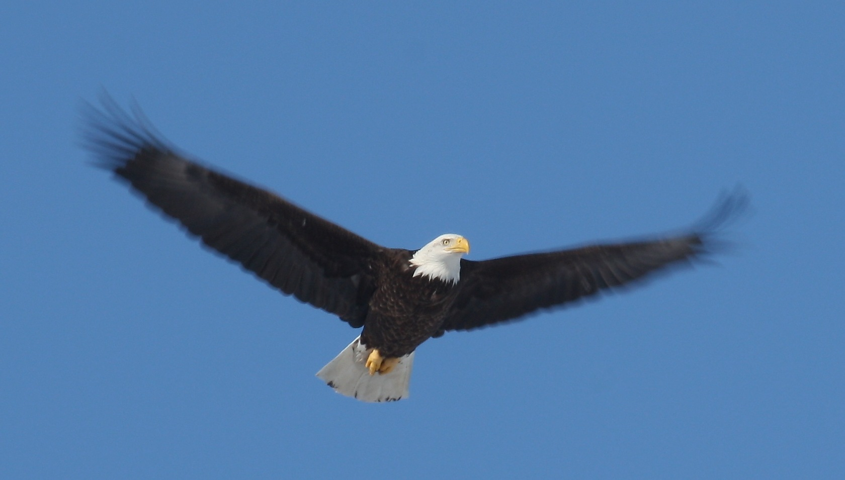 Bald eagles in flight - photo#15