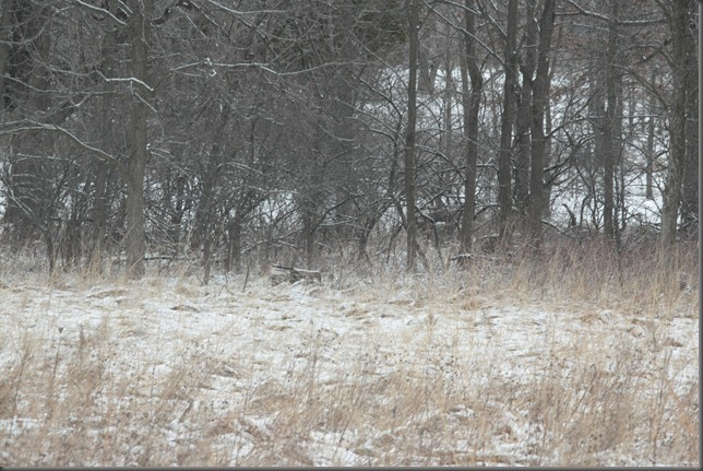 Whitetail Deer 014