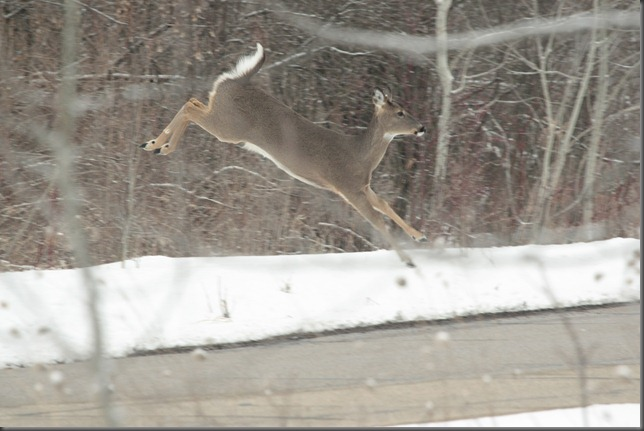 Whitetail Deer 039