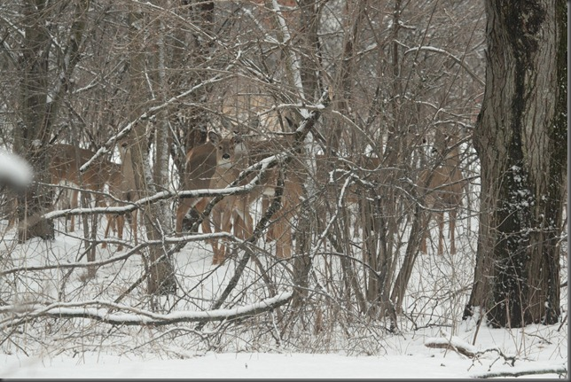 Whitetail Deer 065