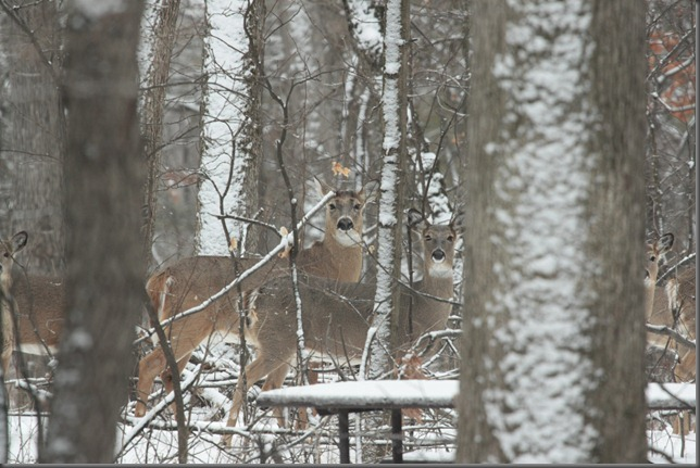 Whitetail Deer 122