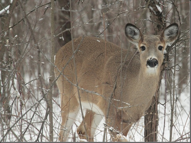 Whitetail Deer 205a