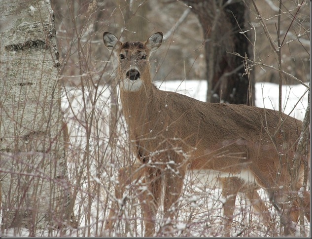 Whitetail Deer 211a