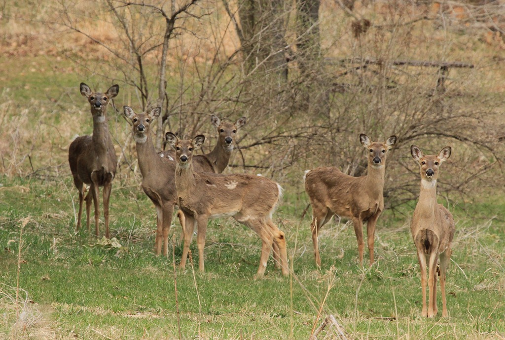 Whitetail Deer Shedding The Trail